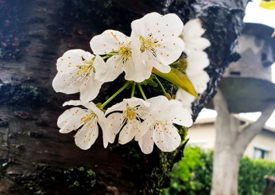 6_Fleur_de_cerisier